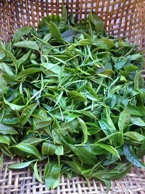 frisch gepflückte Teeblätter in einem Korb
